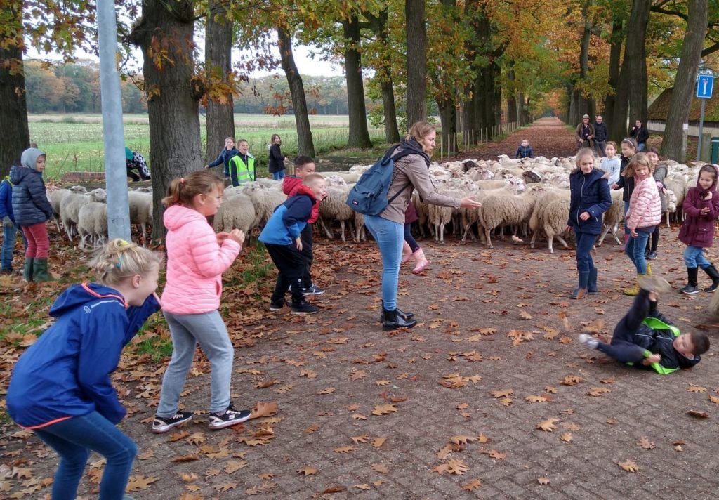 De leerlingen van het derde leerjaar van de gemeenteschool van Hoogstraten helpen de herder en de honden om de schapen de dreven te laten begrazen in de kolonie van Wortel.